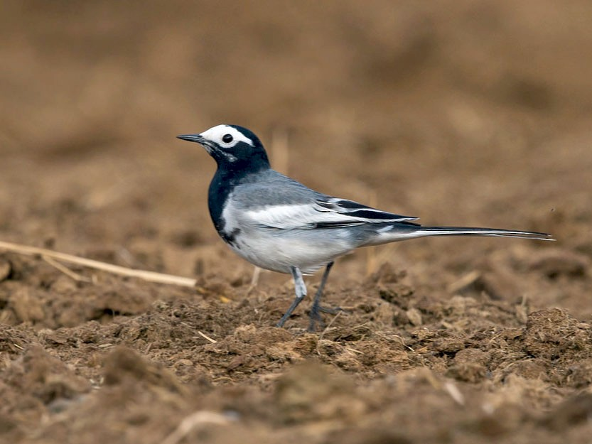 White Wagtail - David Irving