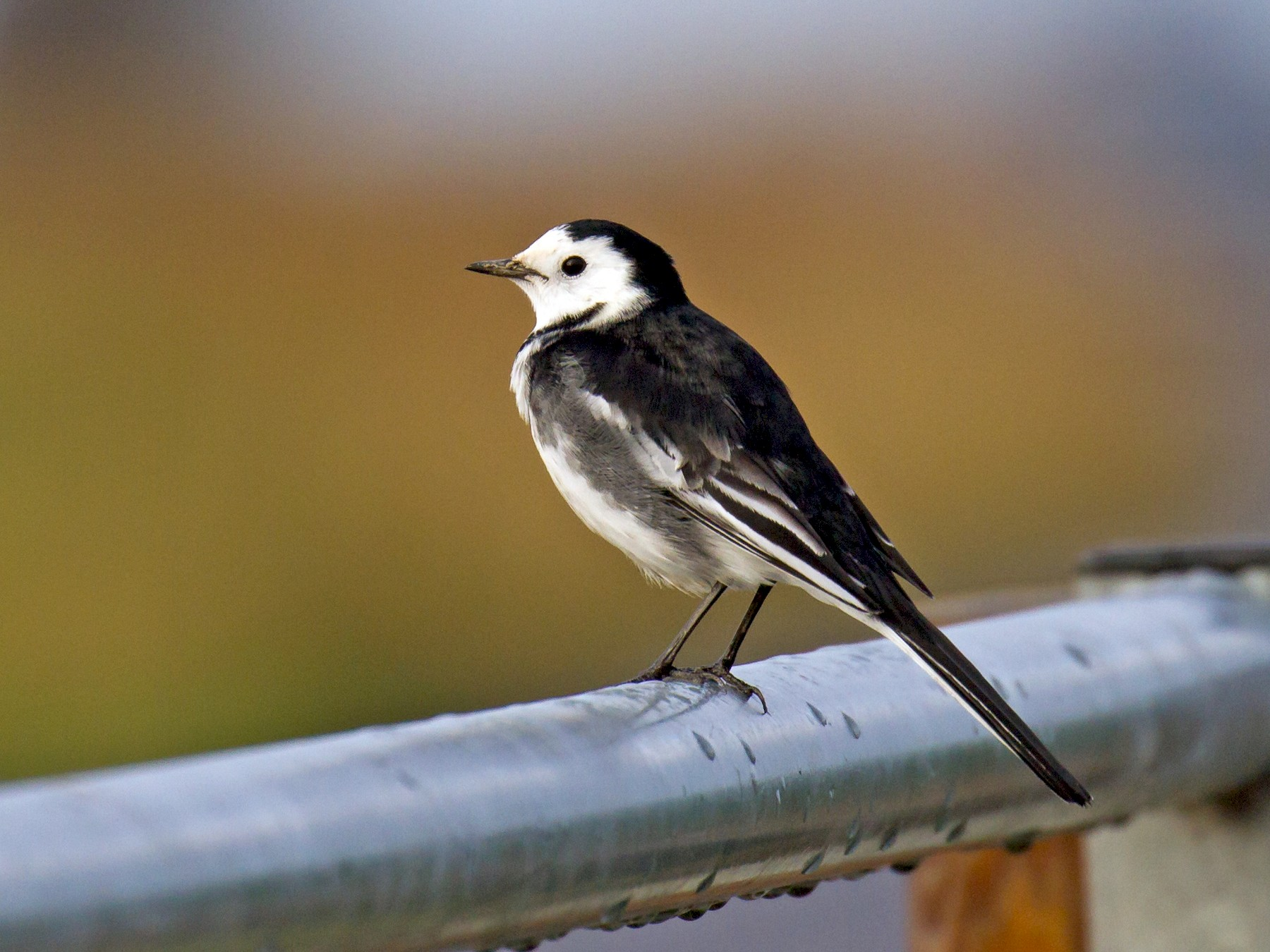 White Wagtail - Ric Else