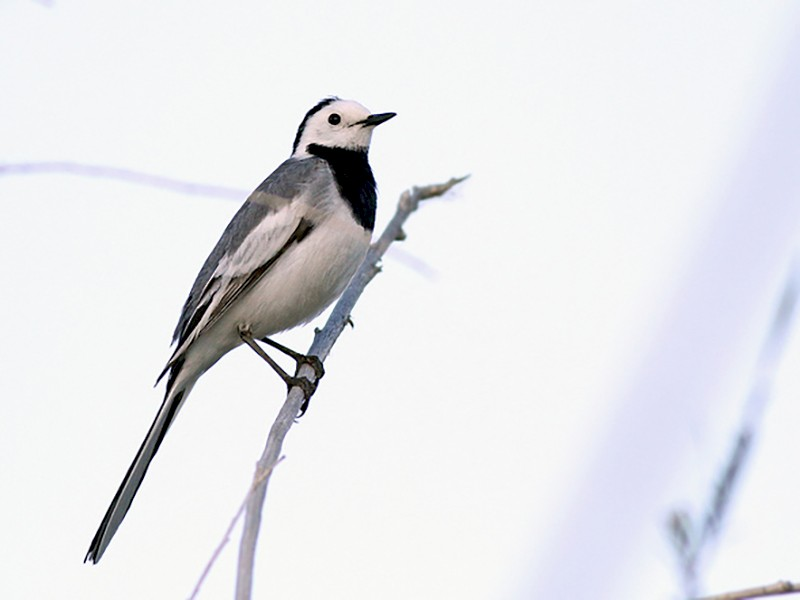 White Wagtail - Jeremiah Trimble