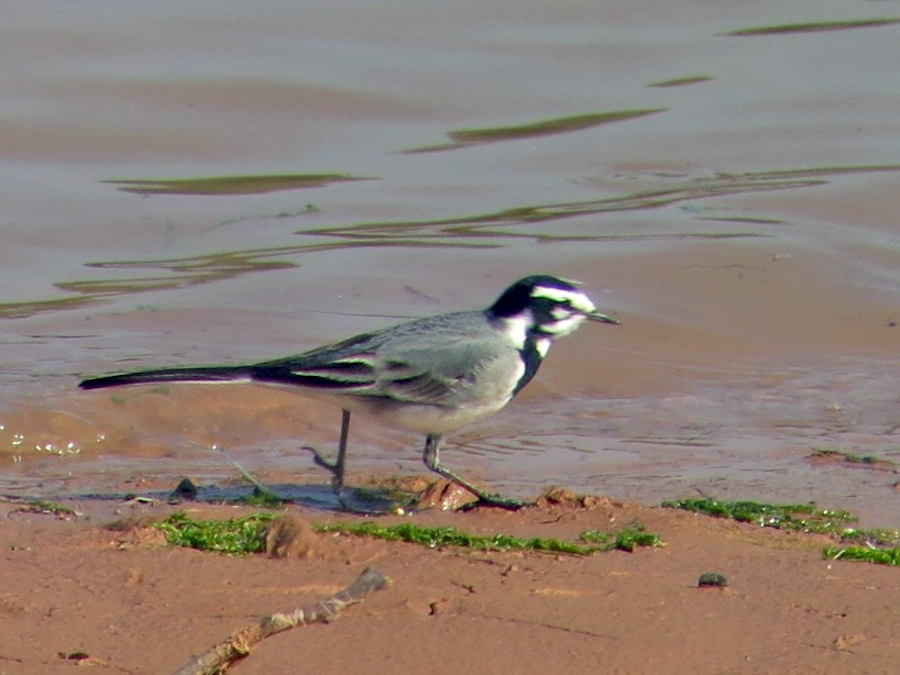 White Wagtail - Pedro Fernandes