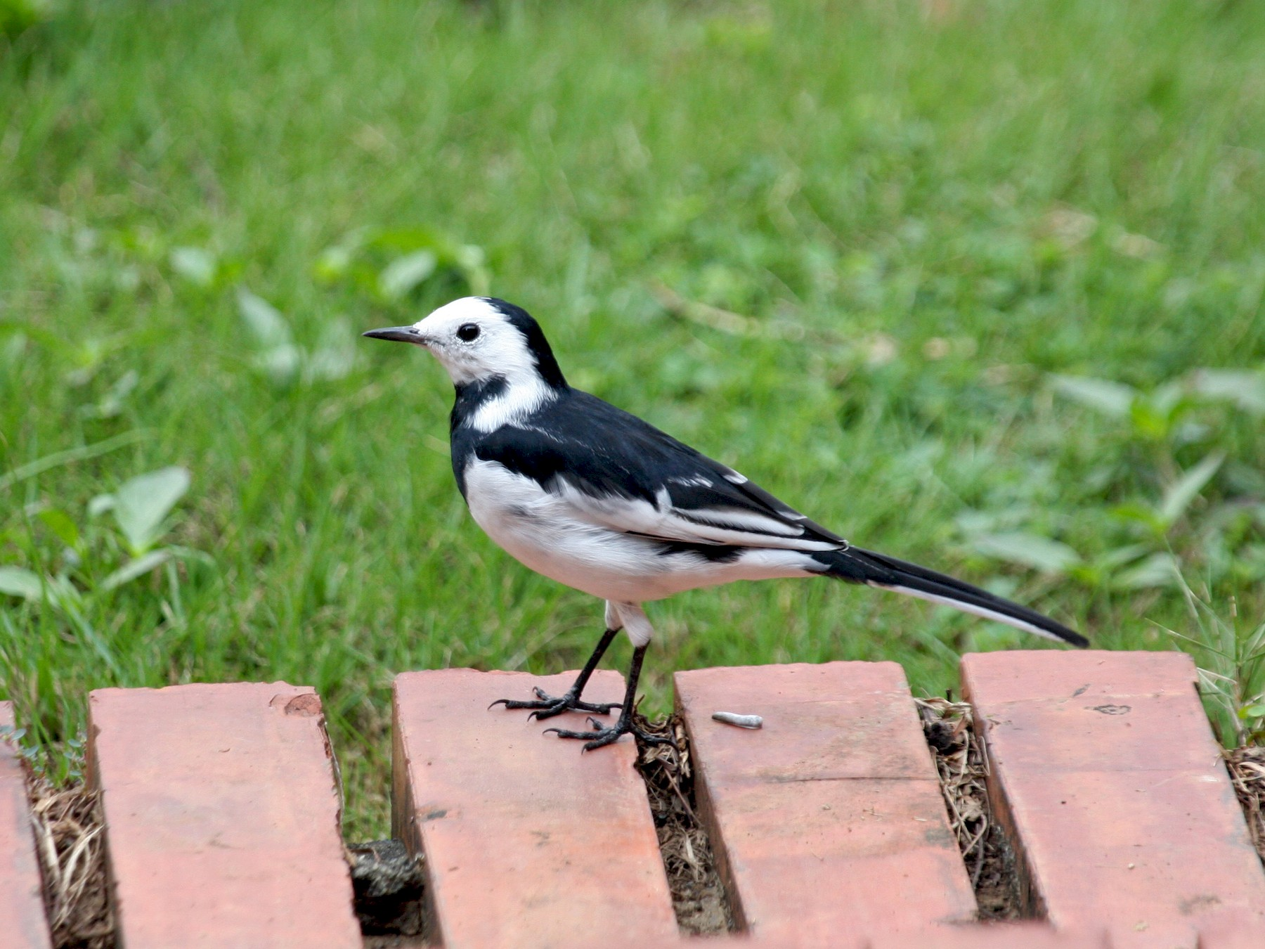 White Wagtail - Jo-Szu [Ross] (若詩) Tsai (蔡)