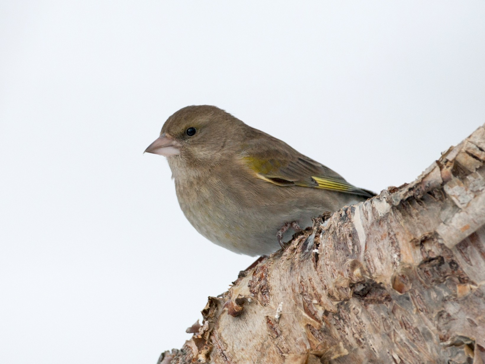 European Greenfinch - Jessie Barry