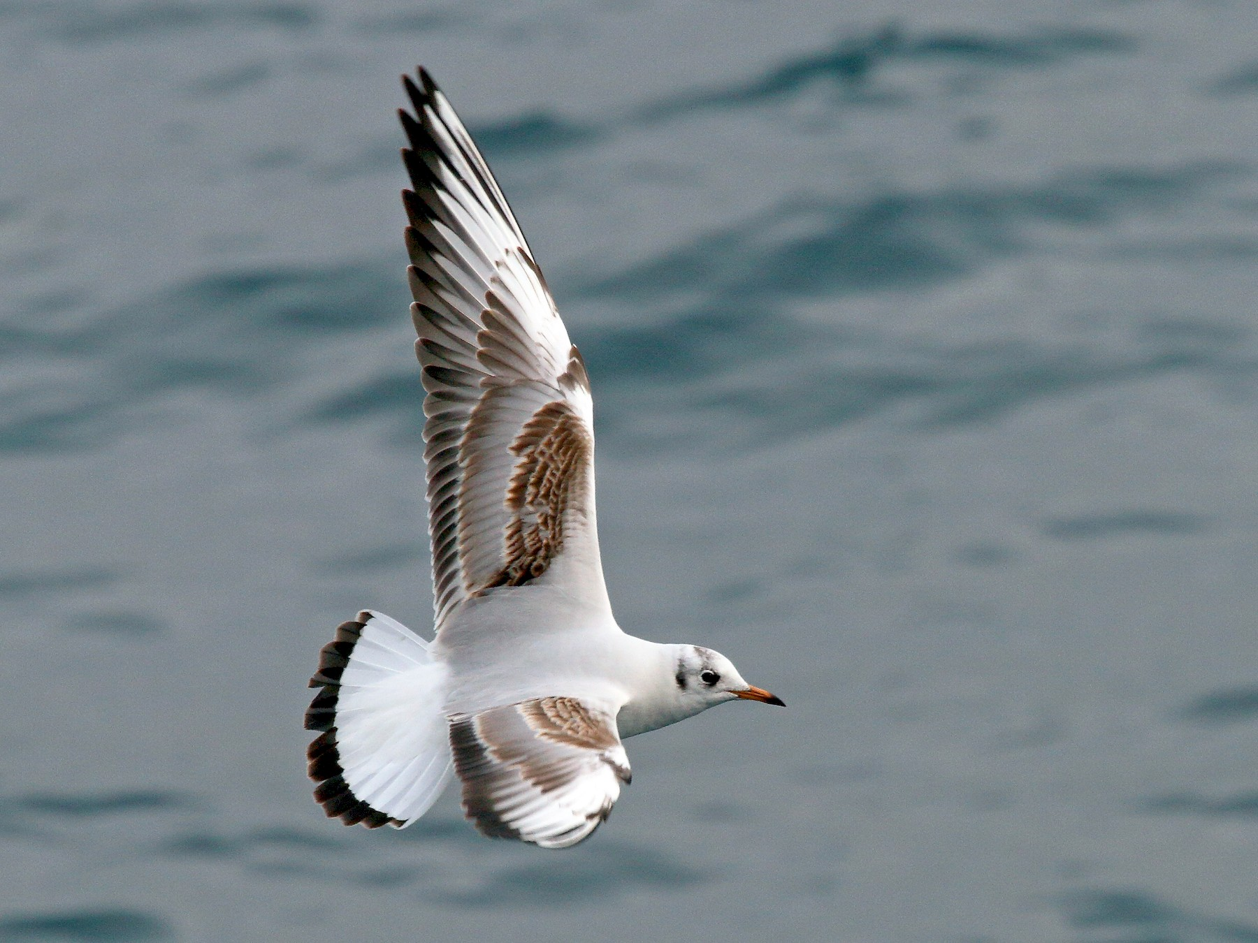 Black-headed Gull - Patrick J. Blake