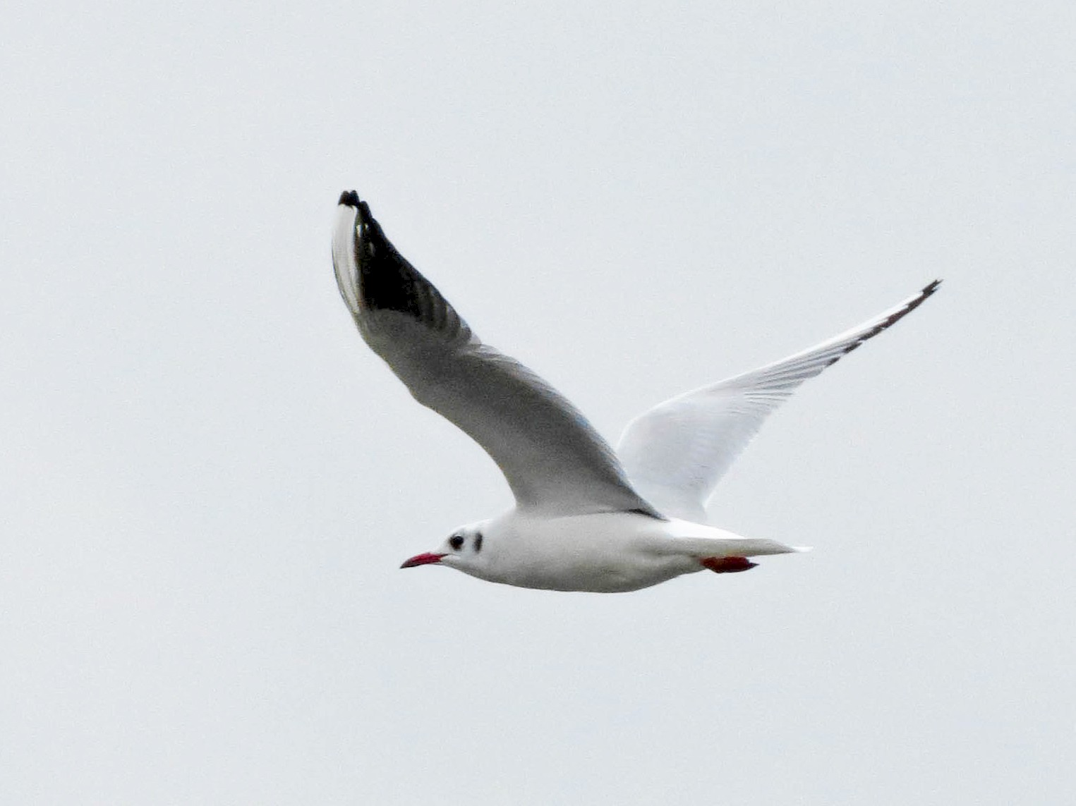Black-headed Gull - Aidan Rominger