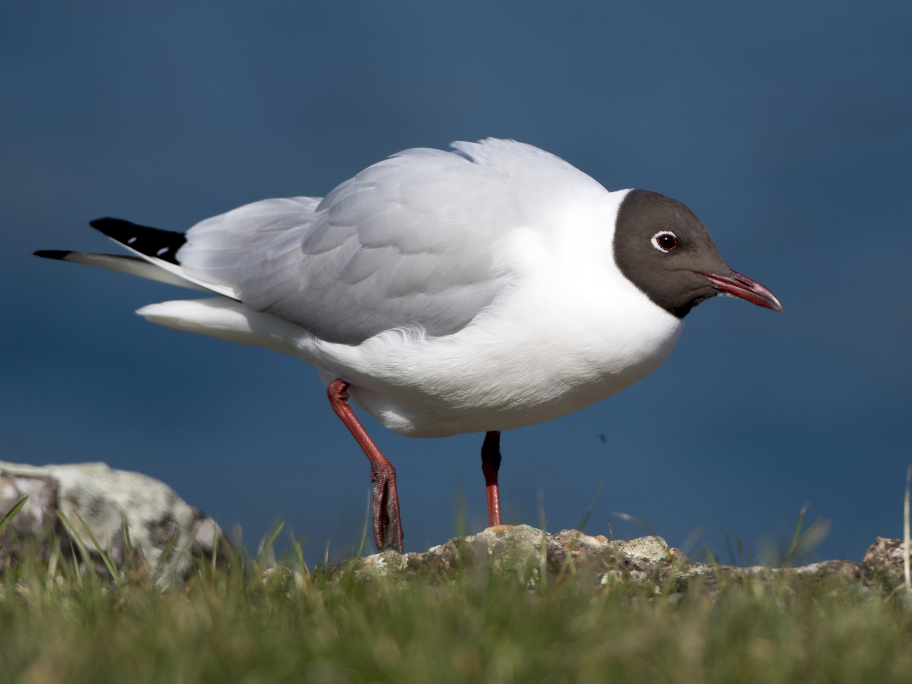 Black-headed Gull - Steve Kelling