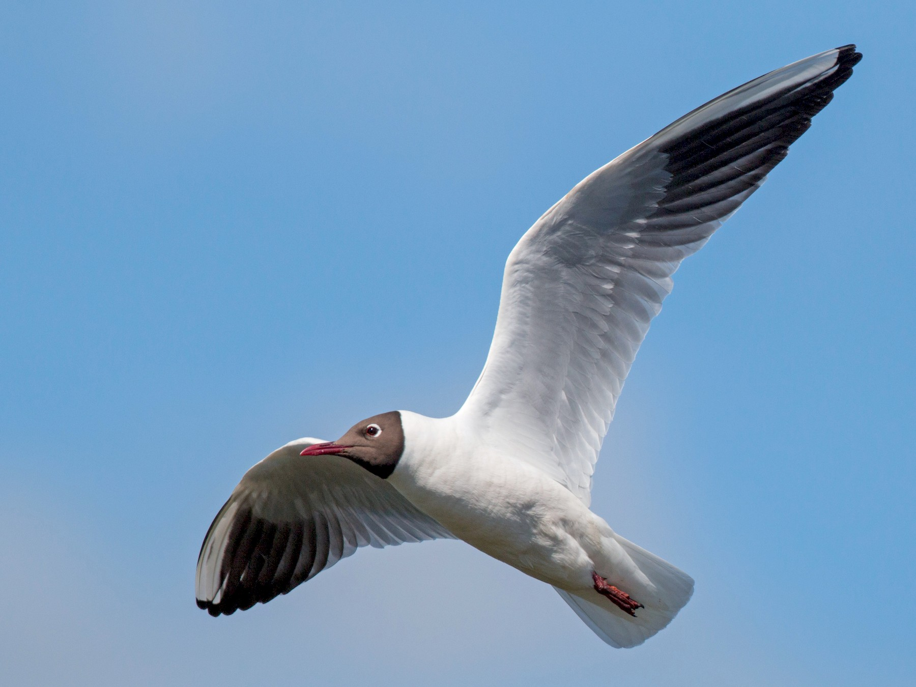 Black-headed Gull - Ian Davies