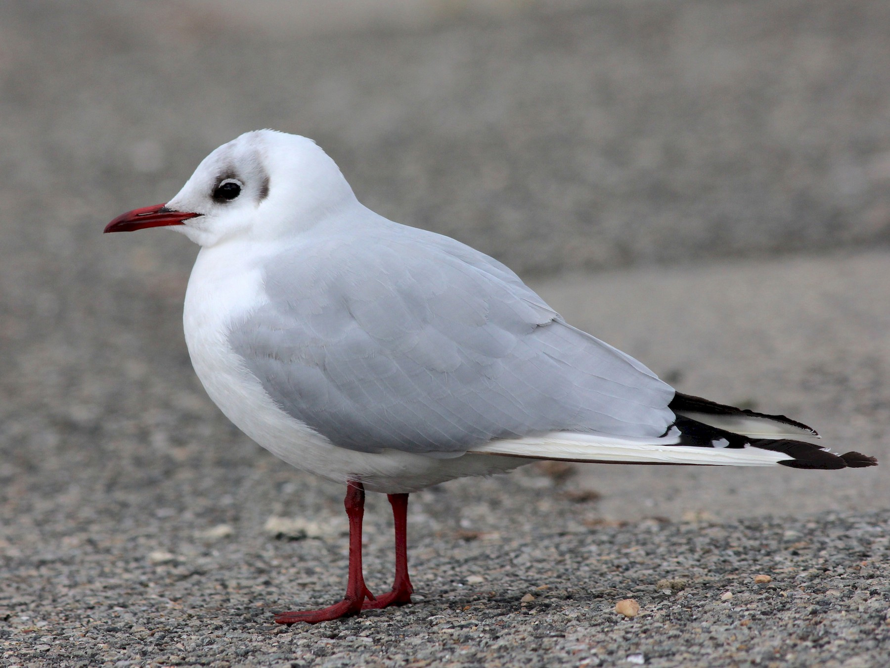 Black-headed Gull - Shawn Billerman