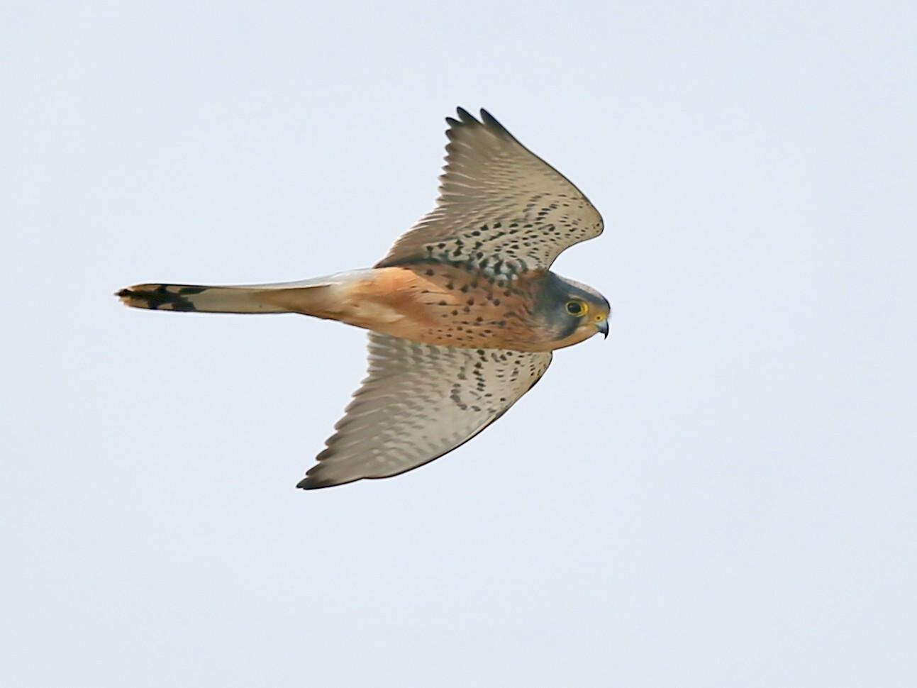 Eurasian Kestrel - Ting-Wei (廷維) HUNG (洪)
