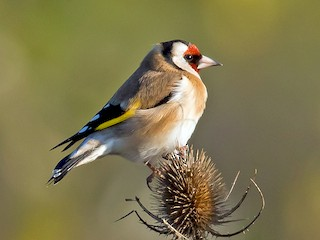 - European Goldfinch