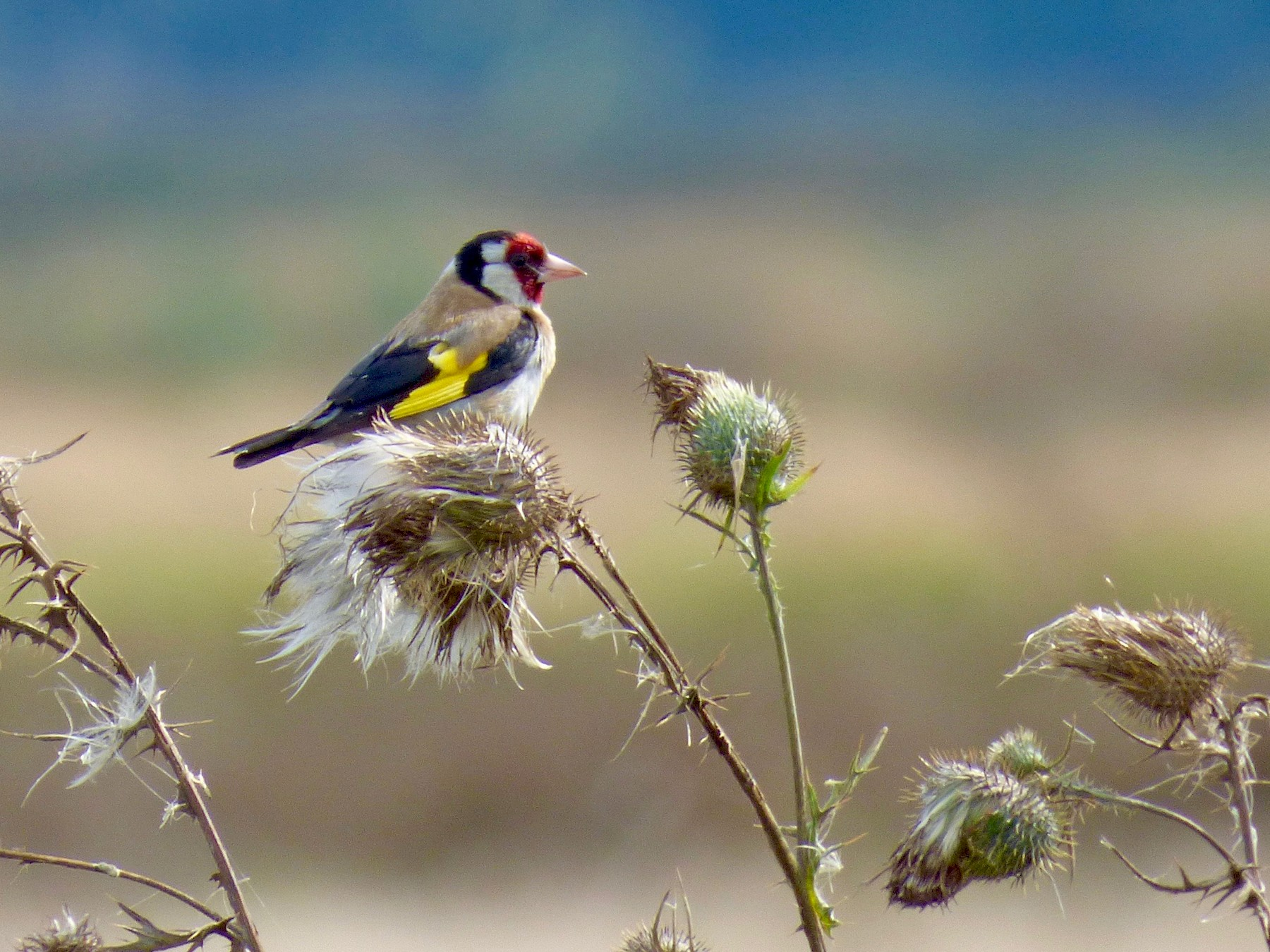 European Goldfinch - John van Dort