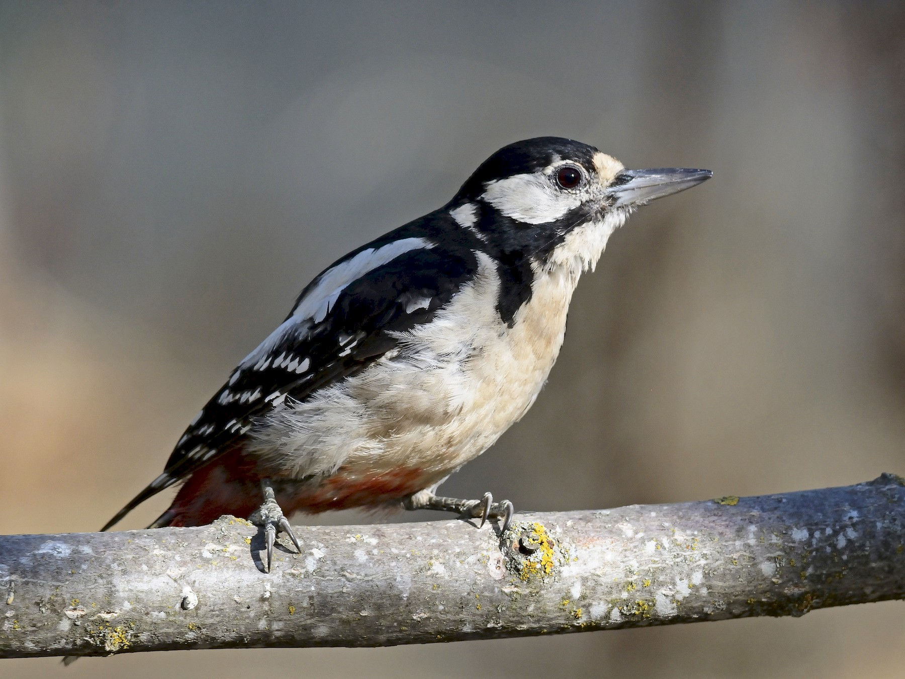 Great Spotted Woodpecker - Carlos Alberto Ramírez