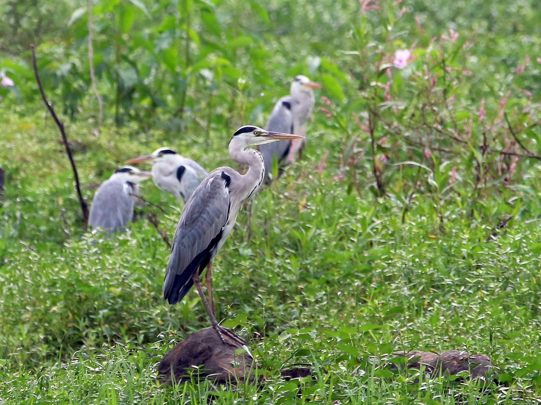 Gray Heron - Sneha Gupta