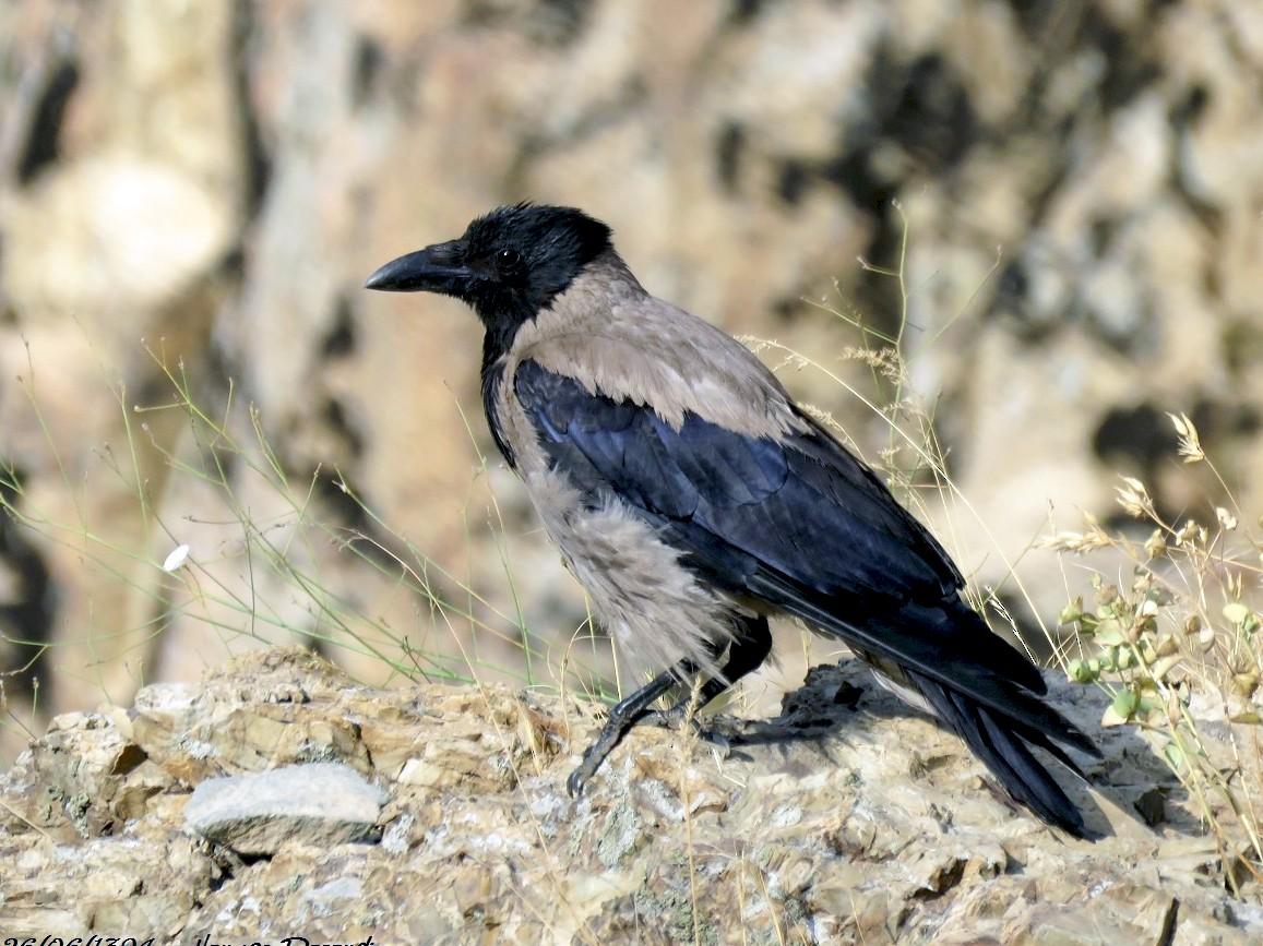 Hooded Crow - Anonymous eBirder