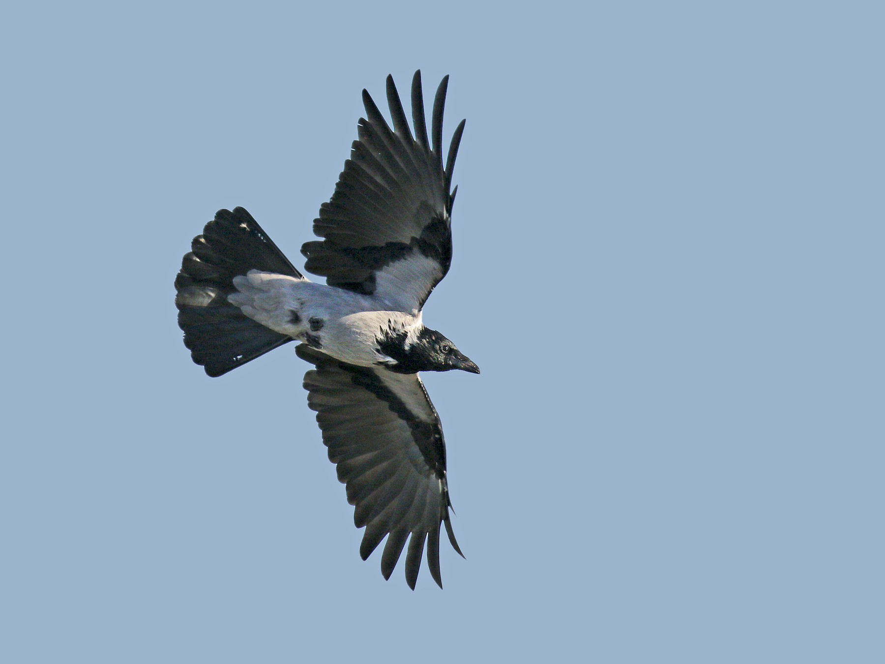 Hooded Crow - Ryan Schain