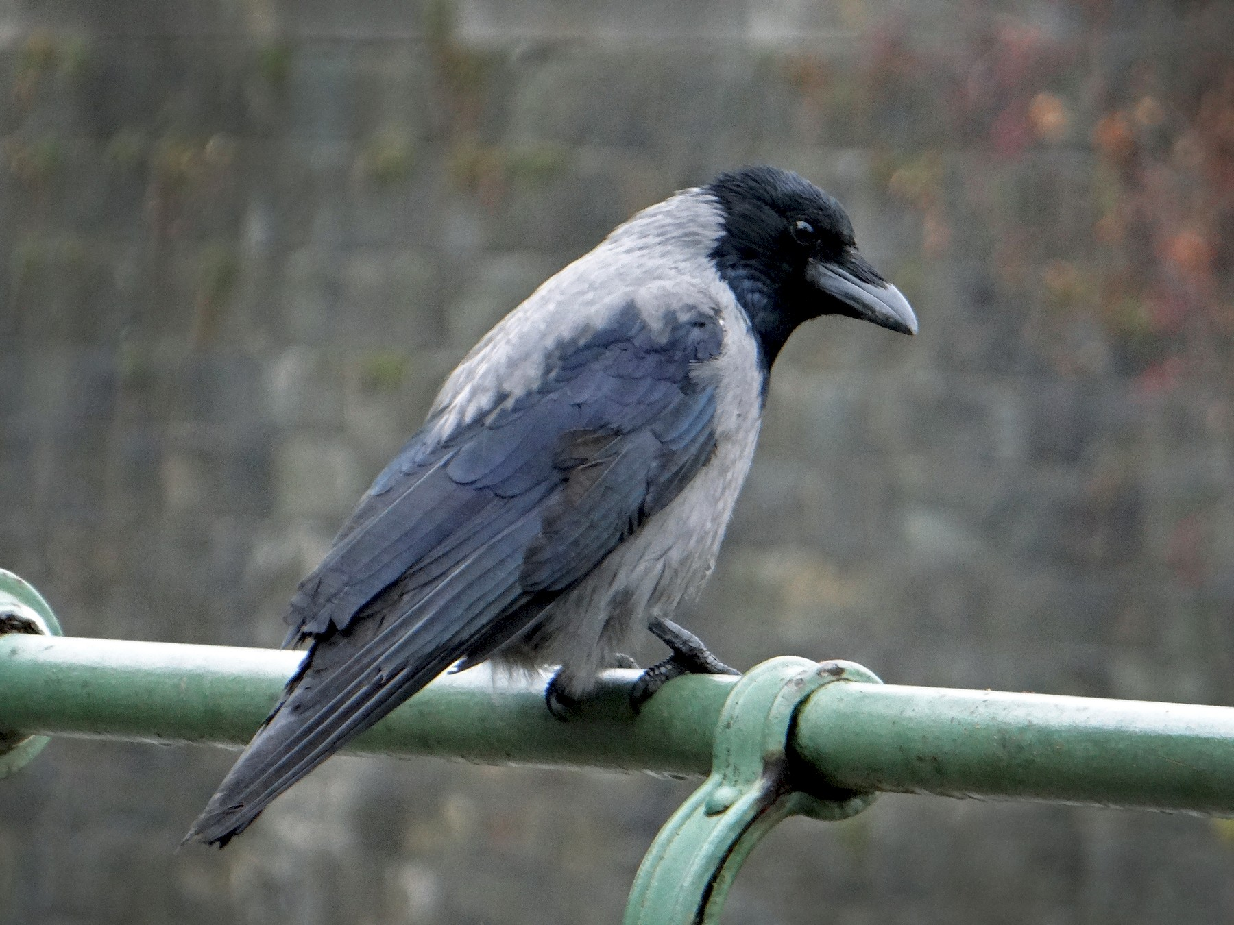 Hooded Crow - kas dumroese