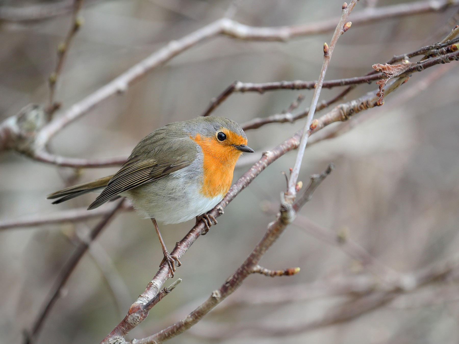 European Robin - Anonymous eBirder