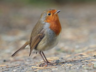 - European Robin