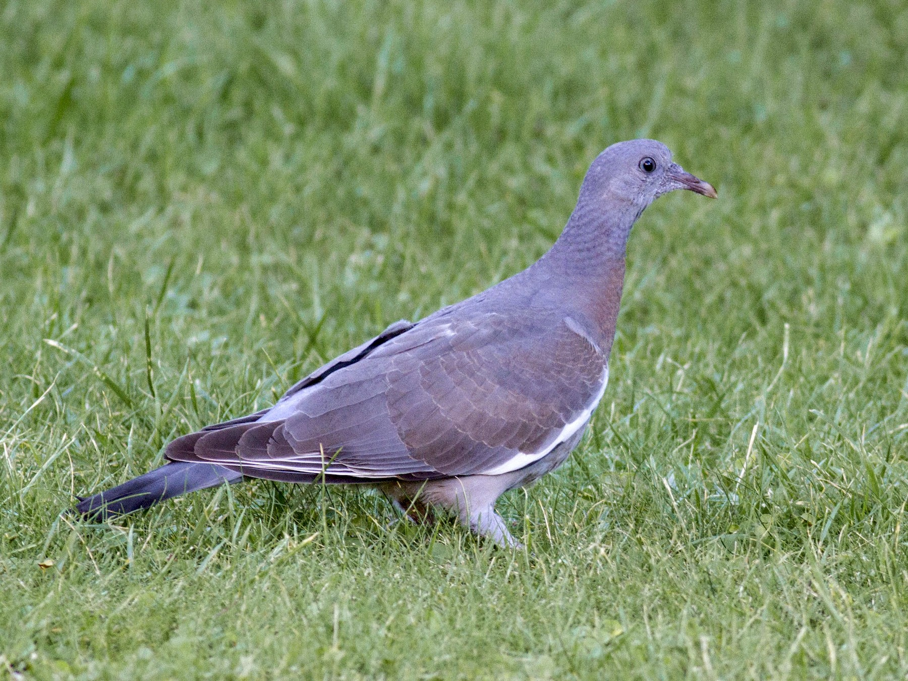 Common Wood-Pigeon - Mouser Williams