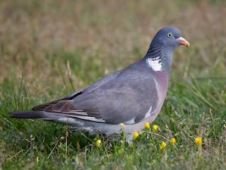 - Common Wood-Pigeon