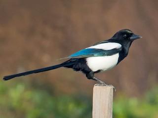 - Eurasian Magpie