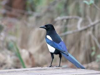 - Oriental Magpie