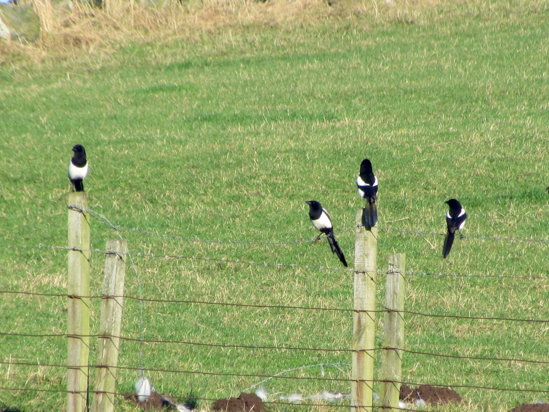 Eurasian Magpie - Bruce  Kerr