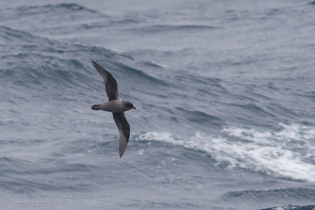 Kerguelen Petrel - Tom Johnson