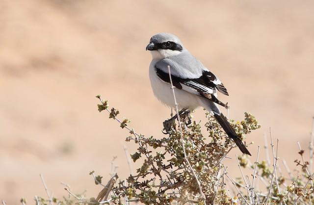 Great Gray Shrike (Sahara)