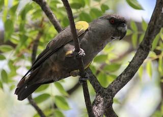 - Rüppell's Parrot