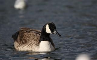 Canada Goose, ML44762341