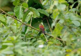 - Abyssinian Crimsonwing