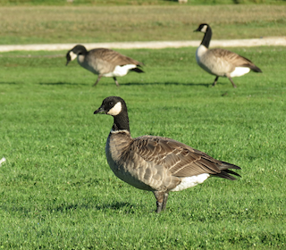 Cackling Goose, ML44774211
