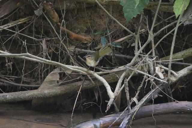 Riverbank Warbler