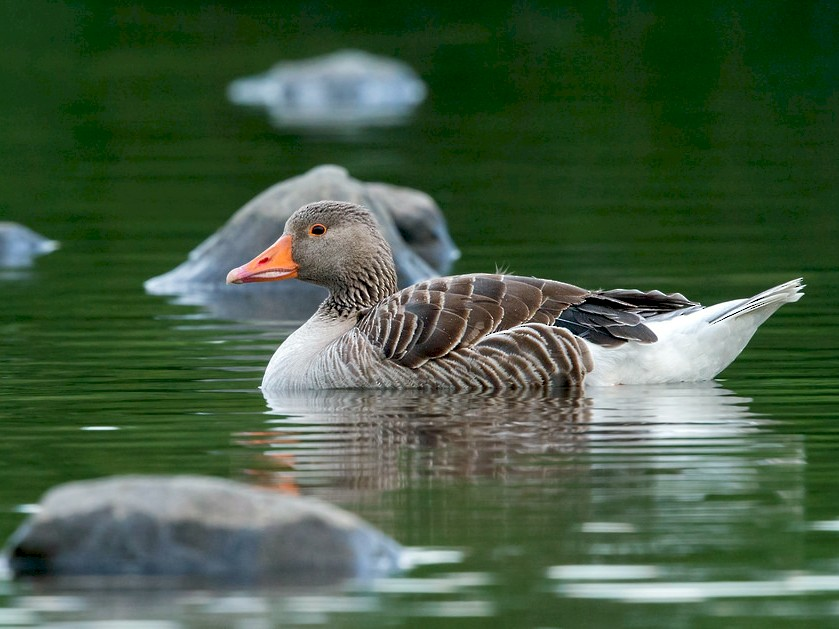 Graylag Goose - David Irving