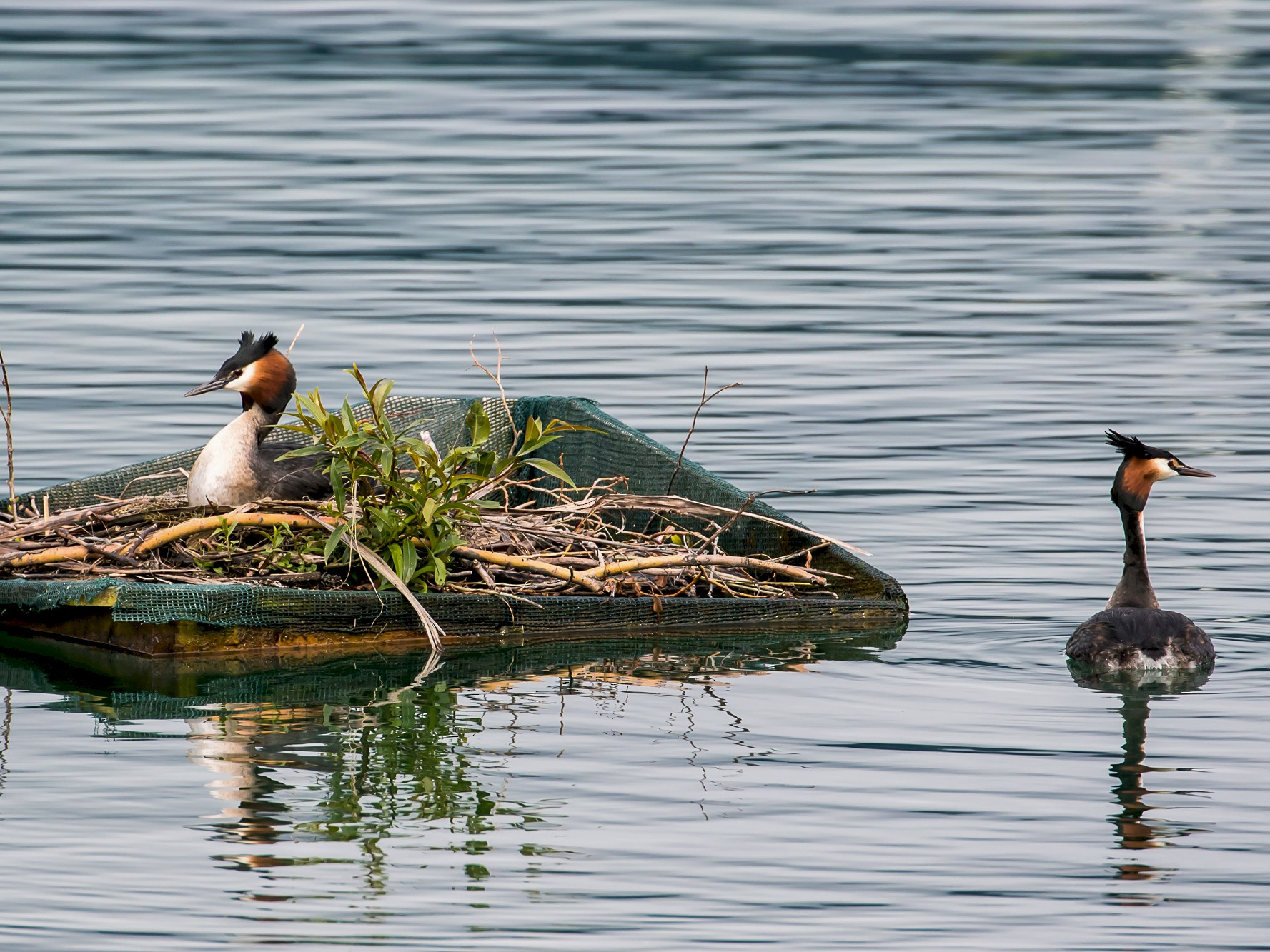 Great Crested Grebe - graichen & recer