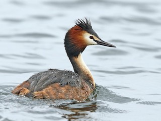 - Great Crested Grebe