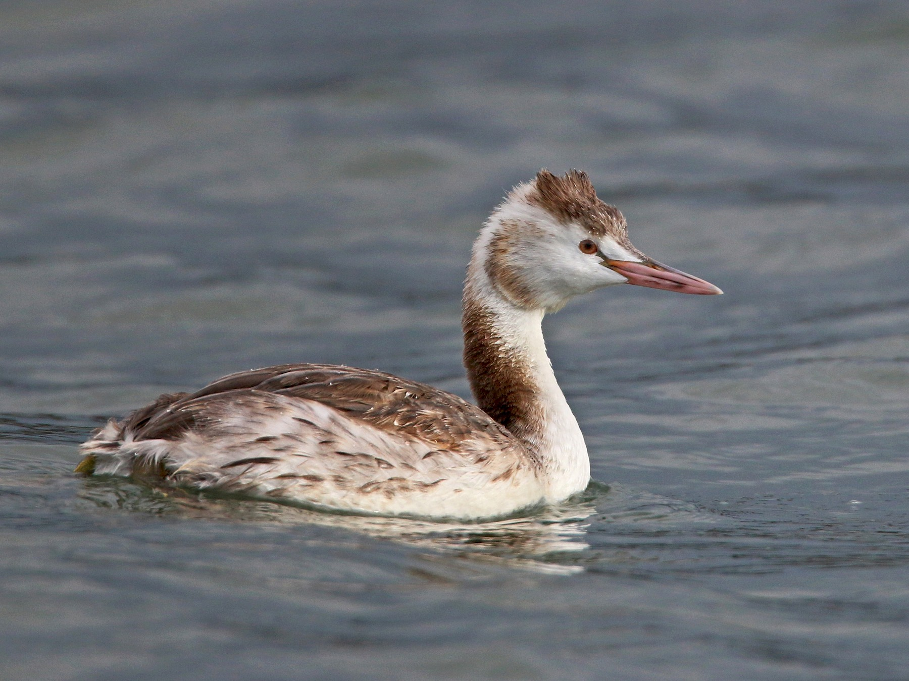 Great Crested Grebe - Ian Davies