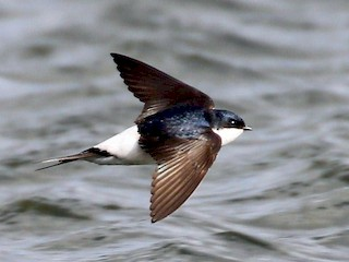 - Common House-Martin