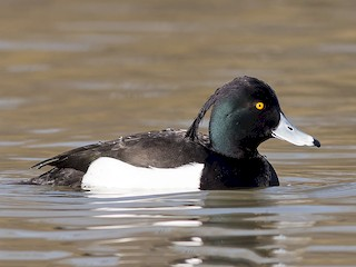 - Tufted Duck