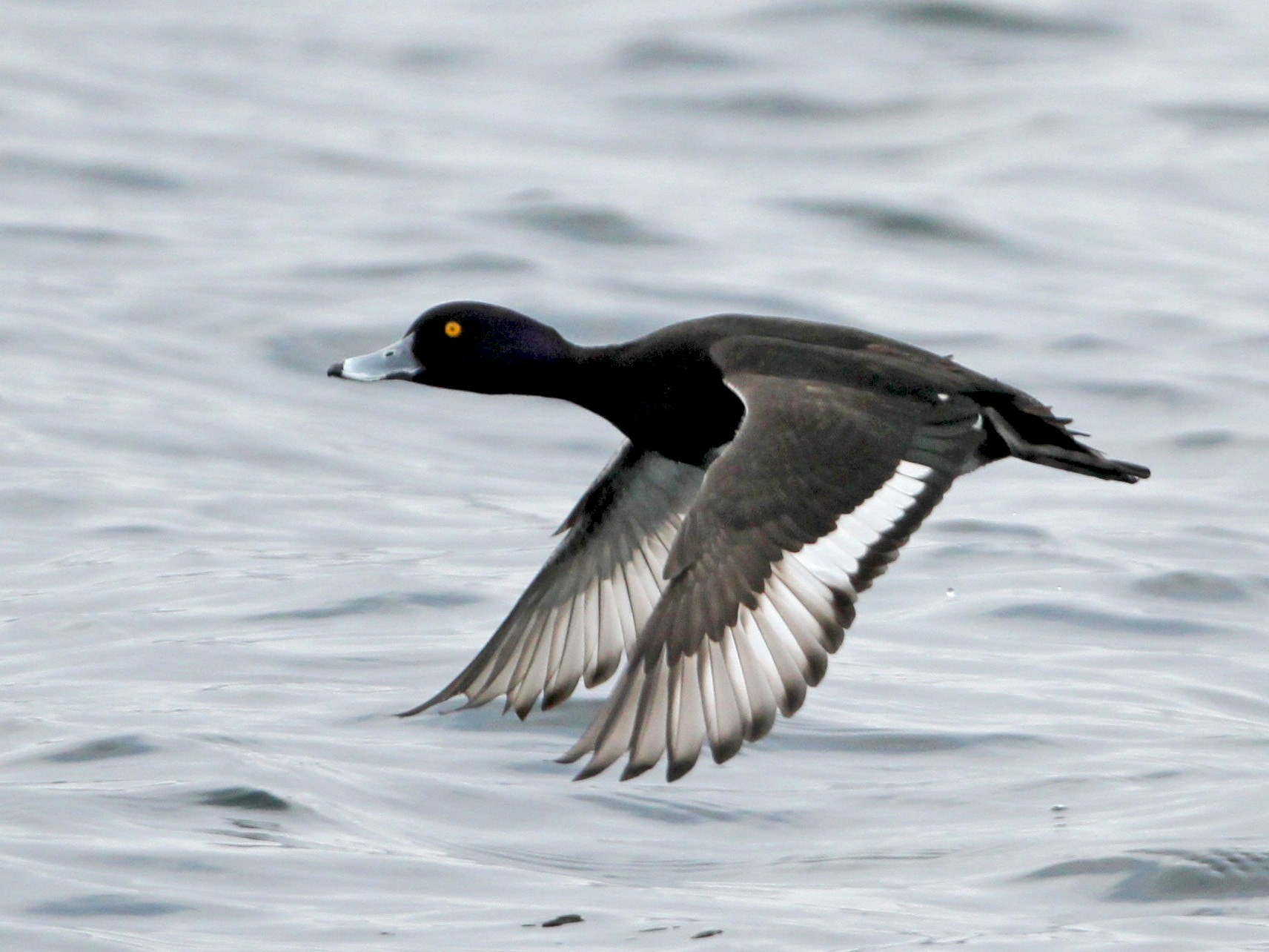 Tufted Duck - Jay McGowan