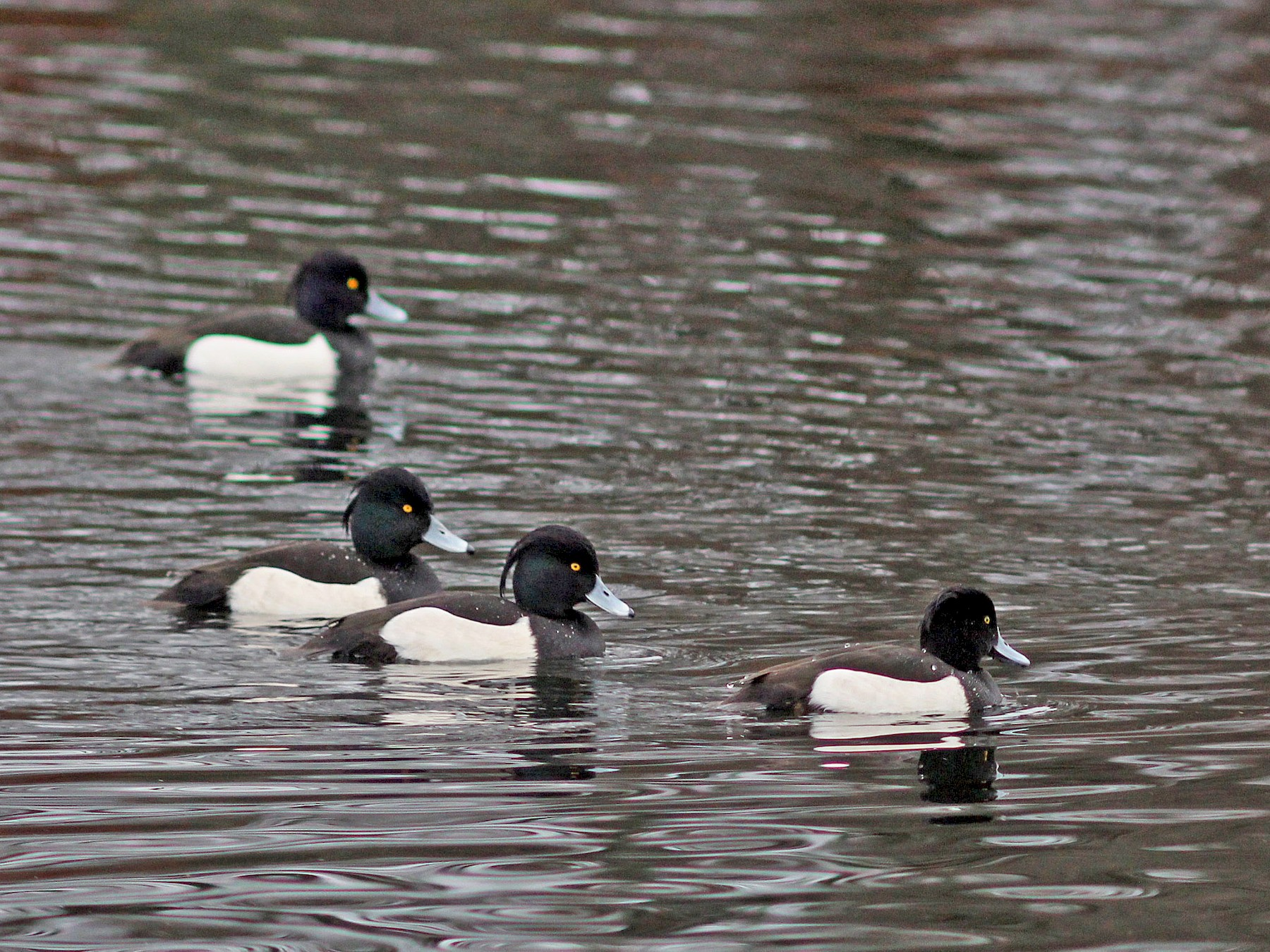 Tufted Duck - Ray Scally