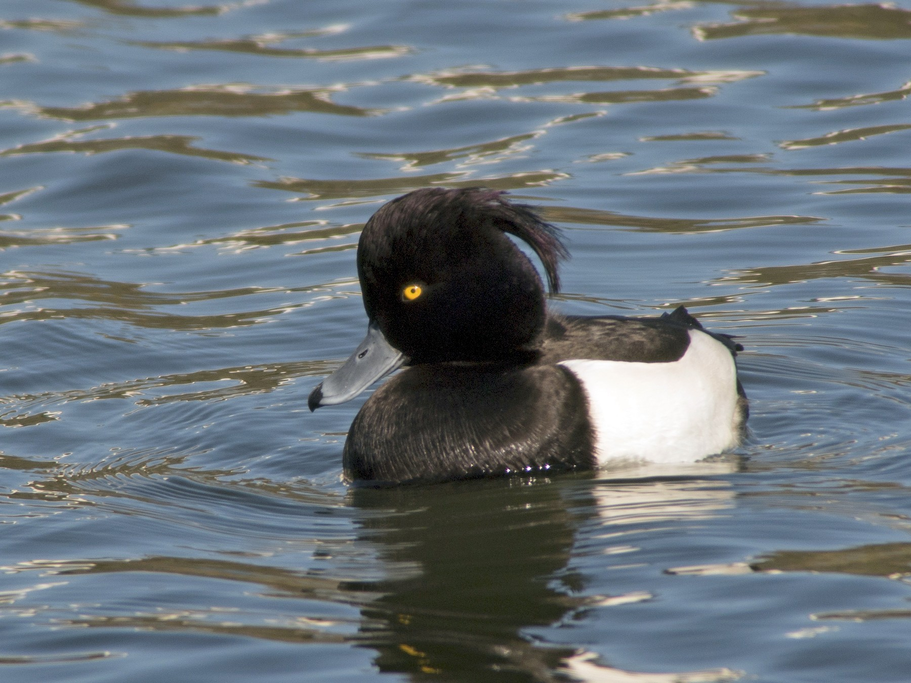 Tufted Duck - Glenn Kincaid