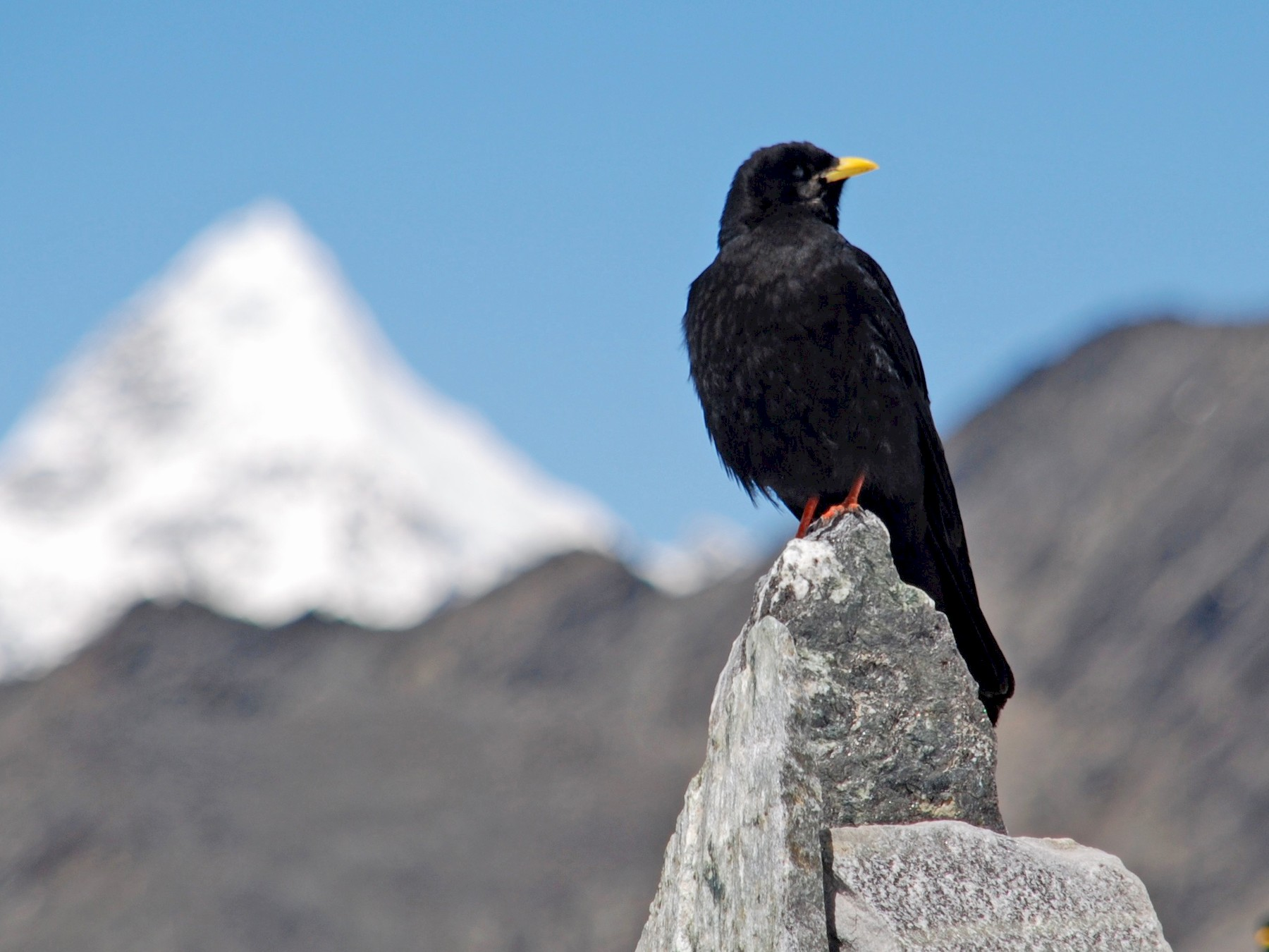 Yellow-billed Chough - Tim Holland