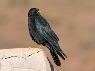 - Yellow-billed Chough