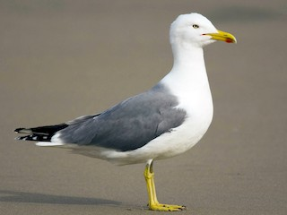 - Yellow-legged Gull