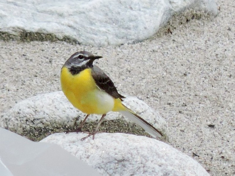 Gray Wagtail - Boris Georgi