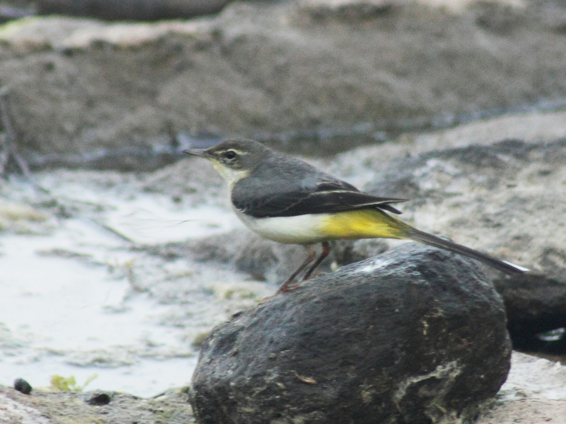 Gray Wagtail - Raaj  Bora