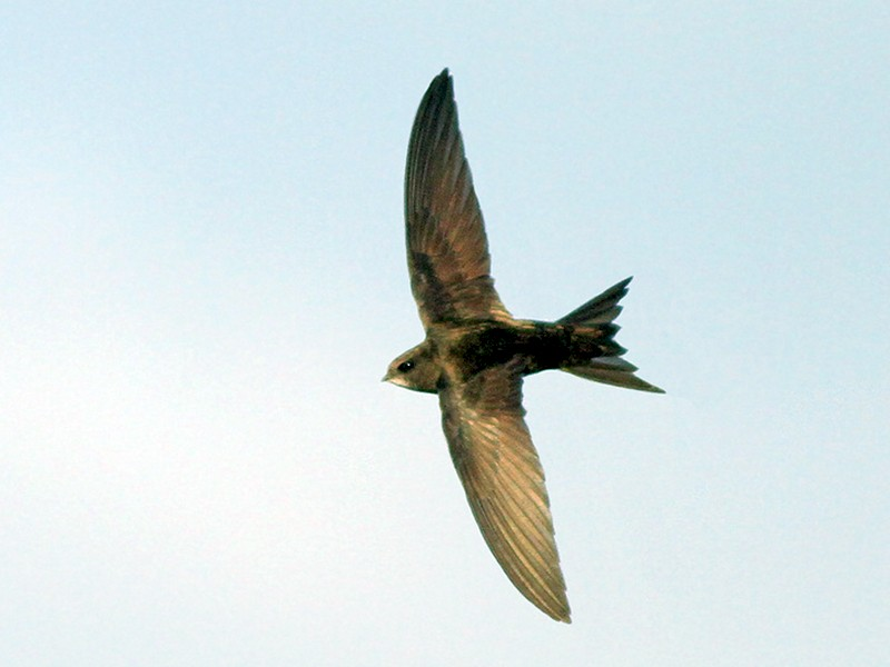 Common Swift - Jeremiah Trimble