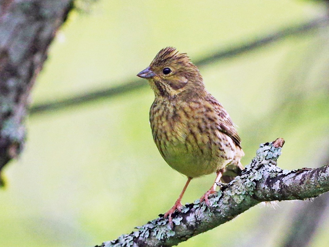 Yellowhammer - Jurijs Silinevics