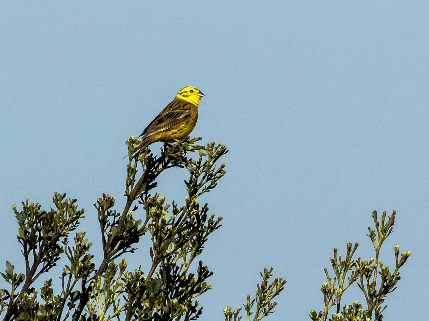 Yellowhammer - graichen & recer